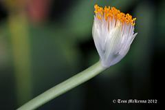 Amaryllidaceae Haemanthus Albiflos Explore 190 copy