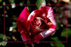 L'amour est une fleur, Et toi son unique graine.