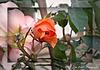 A Wayward Rose