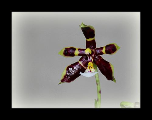 Phalaenopsis mannii Black