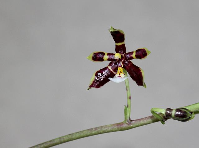 Phalaenopsis mannii Black (2)