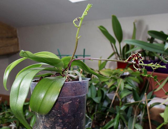 Phalaenopsis mannii Black (3)