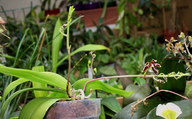 Phalaenopsis mannii Black (5)