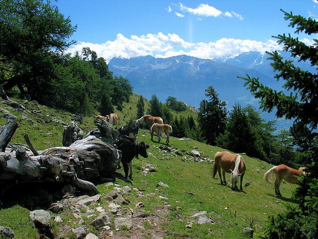 Almwiese mit Haflinger und jungen Rindern