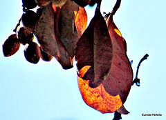 Leaf and Cones