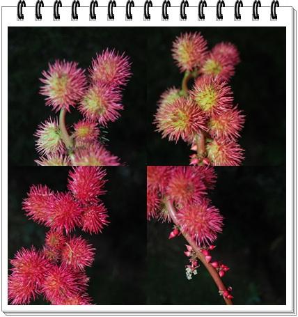 Fleurs de Ricin