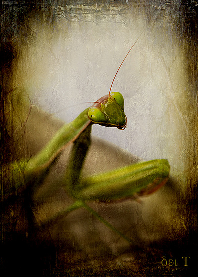 Portrait of a Mantis | Praying