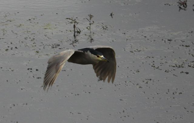 Bihoreau gris ( en vol )