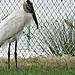 Wood stork..