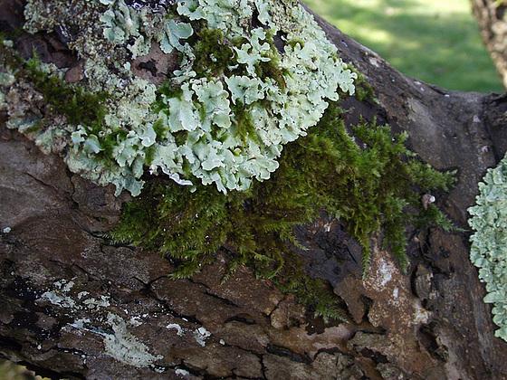 Lichen on the bark
