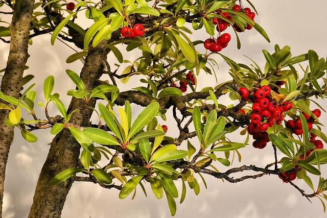 Bonsai Nepal Firethorn – National Arboretum, Washington DC