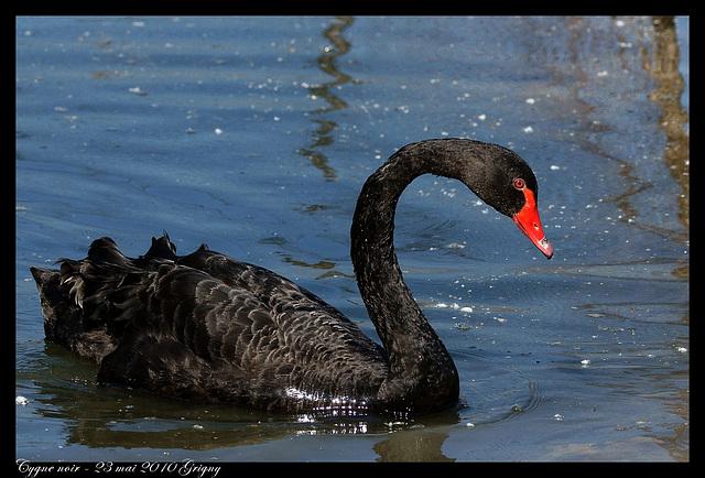Cygne noir DSC03199