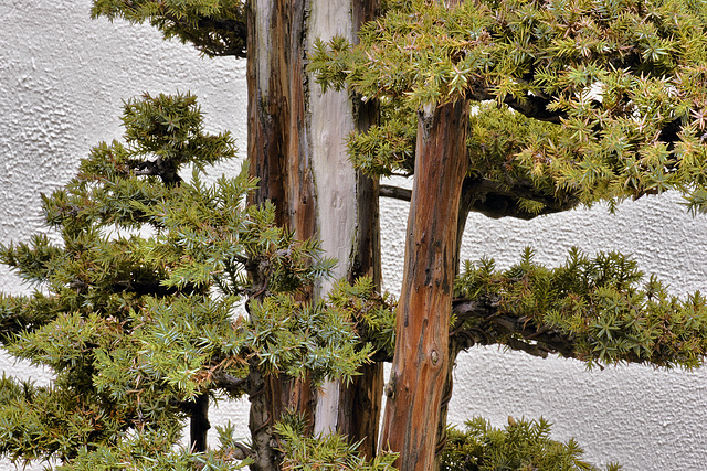 Bonsai Foemina Juniper – National Arboretum, Washington D.C.