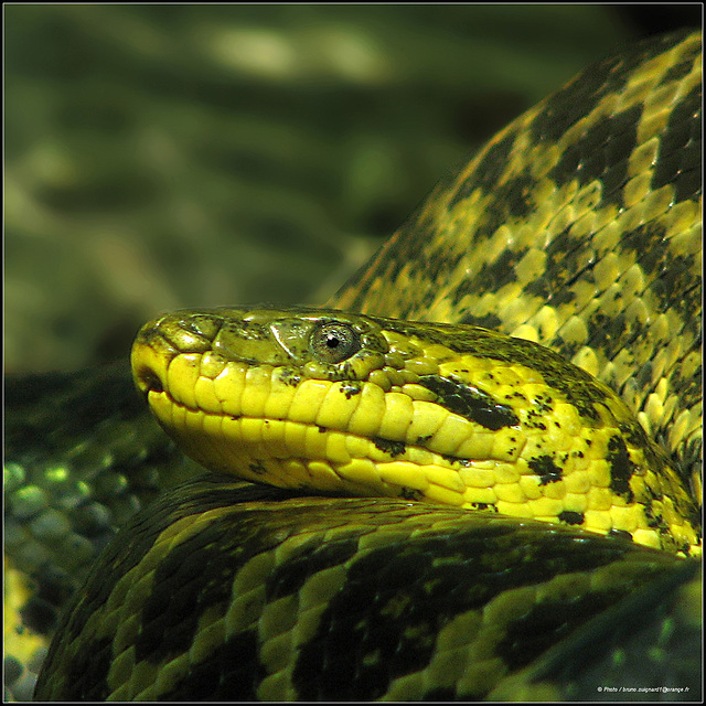 Anaconda jaune