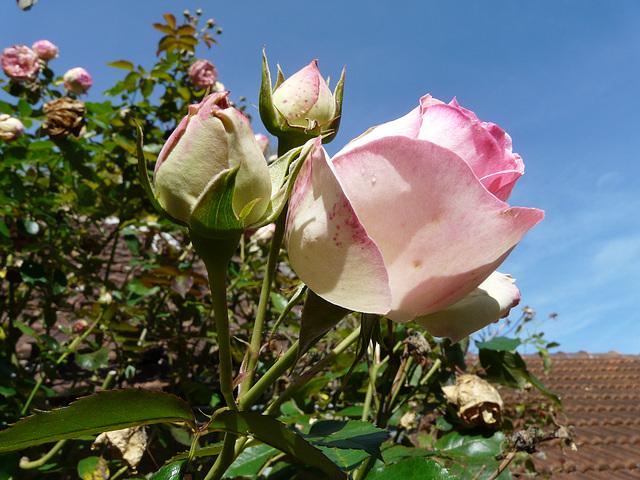 les dernières roses pour cette année