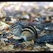 Ecureuil de corée DSC08507