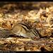 Ecureuil de corée DSC08510