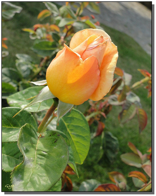 Rosa sp. 1