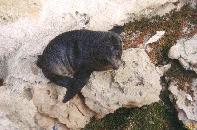1997-07-23 092 Aŭstralio, Kangaroo Island, foko