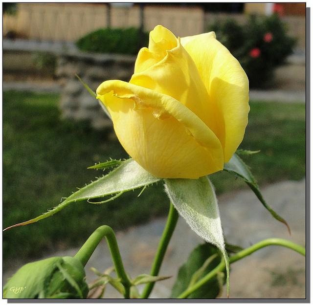 Rosa sp. 3