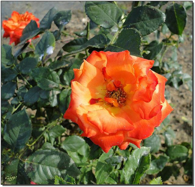 Rosa sp. 4