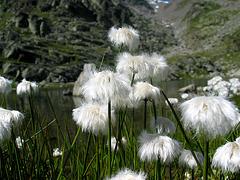 Wollgras am Furgler See