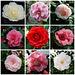 Bouquet von Kamelienblüten