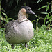 20100902 7807Tw [D~ST] Hawaii-Gans (Branta sandvicensis), Rheine