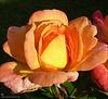 Les roses de mon jardin refleurissent