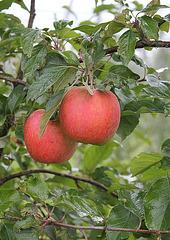 Apfelpärchen