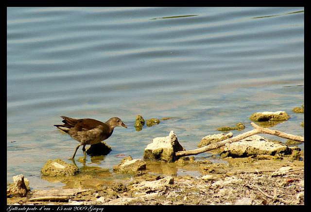 Gallinule poule-d'eau DSC04353