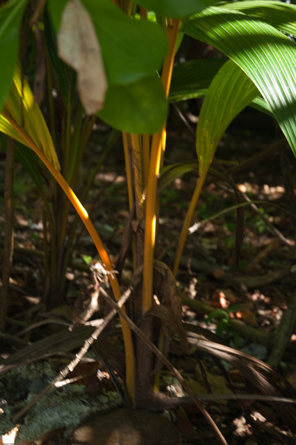 coconut tree sprouting from the coconut