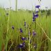 20090920-0822 Utricularia reticulata Sm.