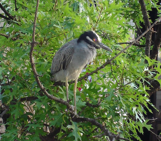 L'oiseau sympatique / Friendly texan bird - San Antonio, Texas. USA - 29 juin 2010.