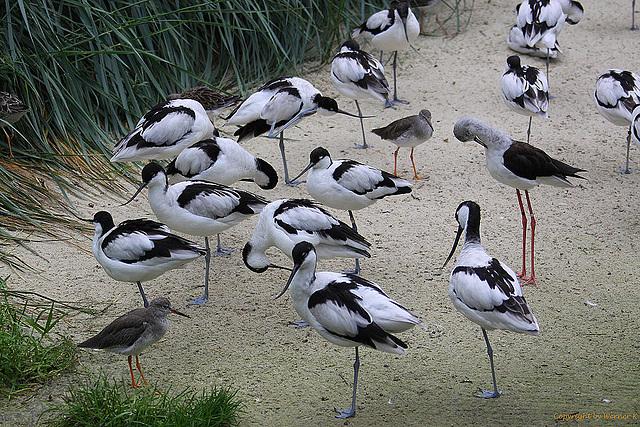 20100902 7862Aw [D~ST] Säbelschnäbler (Recurvirostra avosetta), Stelzenläufer (Himantopus himantopus), Rotschenkel (Tringa totanus), Naturzoo Rheine