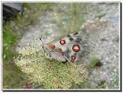 Parnassius apollo femelle