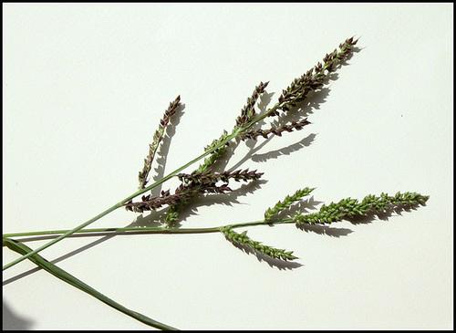 Echinochloa crus-galli