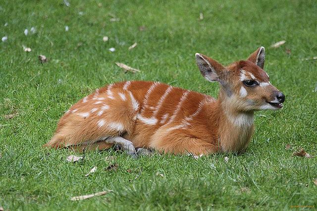 20100902 7868Aaw Sitatunga-Antilope (Tragelaphus spekei)
