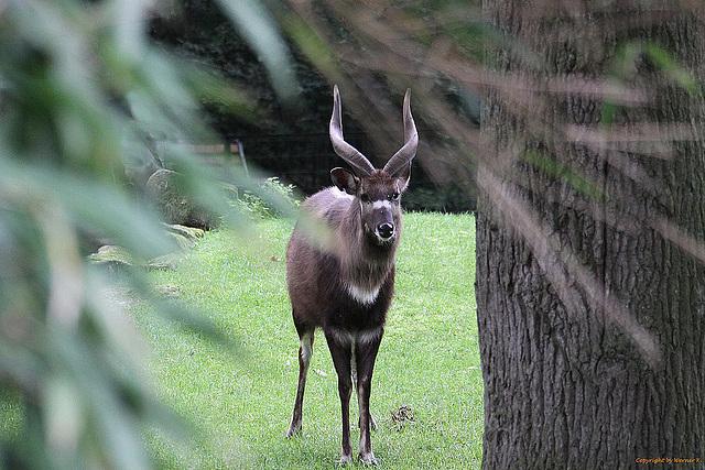 20100902 7869Aaw Sitatunga-Antilope (Tragelaphus spekei)
