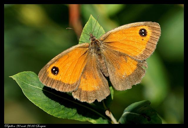 Papillon DSC09809
