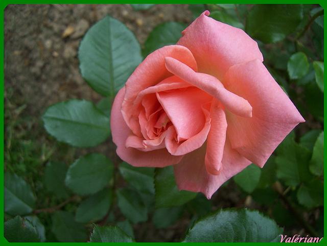 La mort de la rose