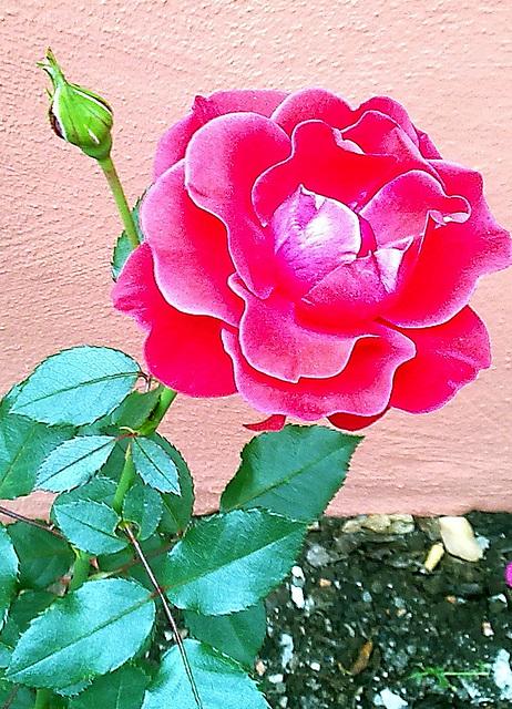Letzte Rose ........