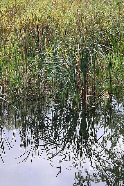 20101021 8635Aw [D~LIP] Rohrkolben-Spiegelung, Großer Teich