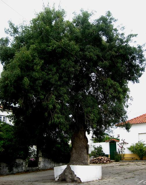 A-dos-Ruivos, old ash tree (1)