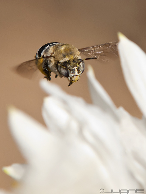 Anthophoridae, Amegilla canifrons.