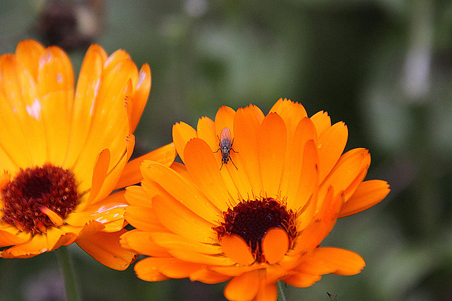 20101021 8617Aw [D~LIP] Fliege, Blütenpflanze ?????, Fliege