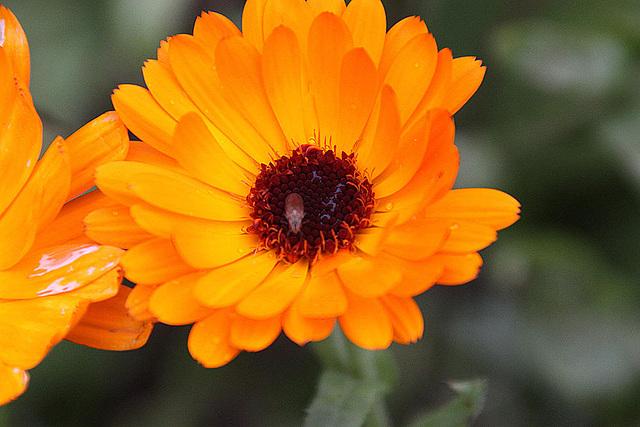 20101021 8616Aw [D~LIP] Fliege, Blütenpflanze ?????, Insekt
