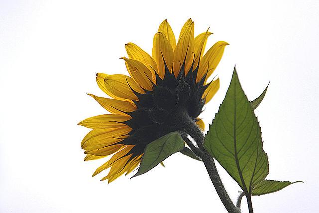 20101021 8613Aw [D~LIP] Sonnenblume