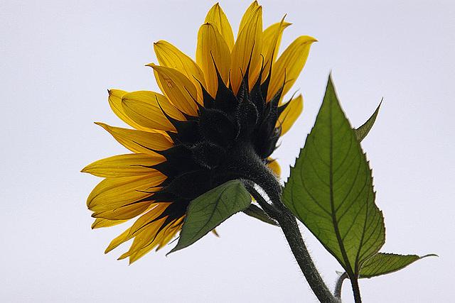 20101021 8612Aw [D~LIP] Sonnenblume
