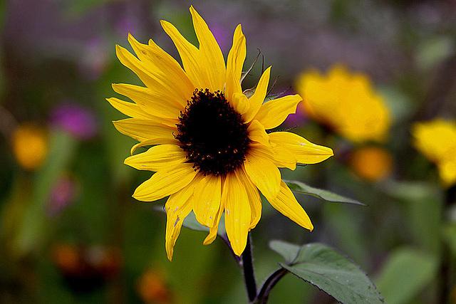 20101021 8611Aw [D~LIP] Sonnenblume